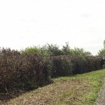 Hedges 27 May 007